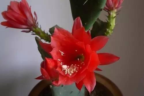 下面是网友嫁接令箭荷花,仙人球,蟹爪兰后,开花的照片.