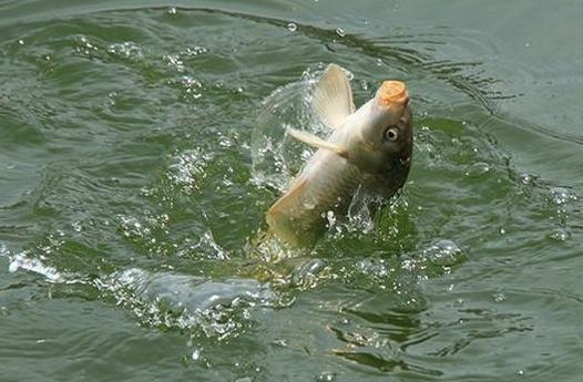 夏天钓鲫鱼用这3种饵料配方,渔获满满超轻松
