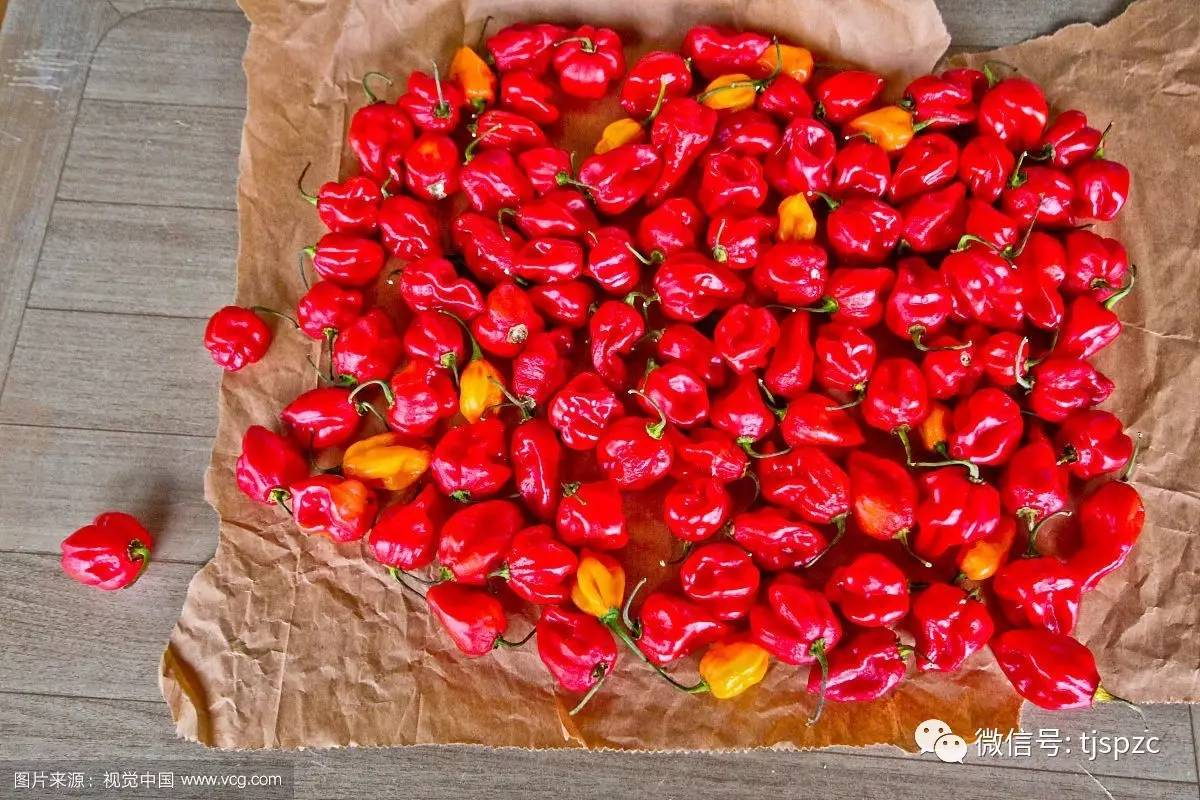 世界最辣的辣椒_世界最辣辣椒