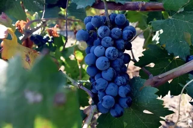 菲拉慕尼系列干红葡萄酒现有三款,分别是:洋葱绿豆葡萄酒,v干红干红生态交易网图片