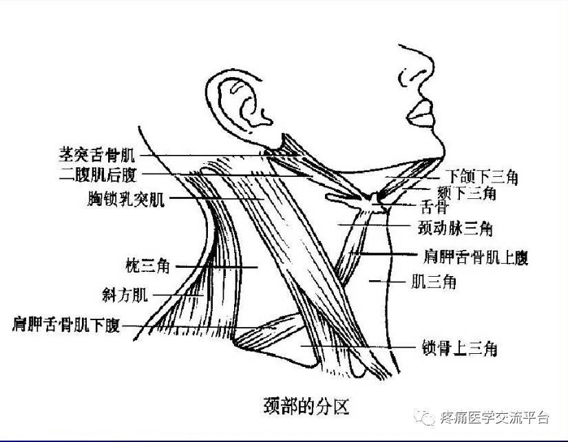 甲状腺局部解剖