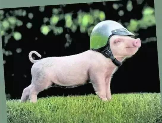 怕猪一样的队�_桃江全城寻找猪队友 不怕神对手,就怕猪队友!