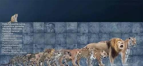 这些可能导致如今大型猫科动物的遗传多样性有限以及群体规模较小.