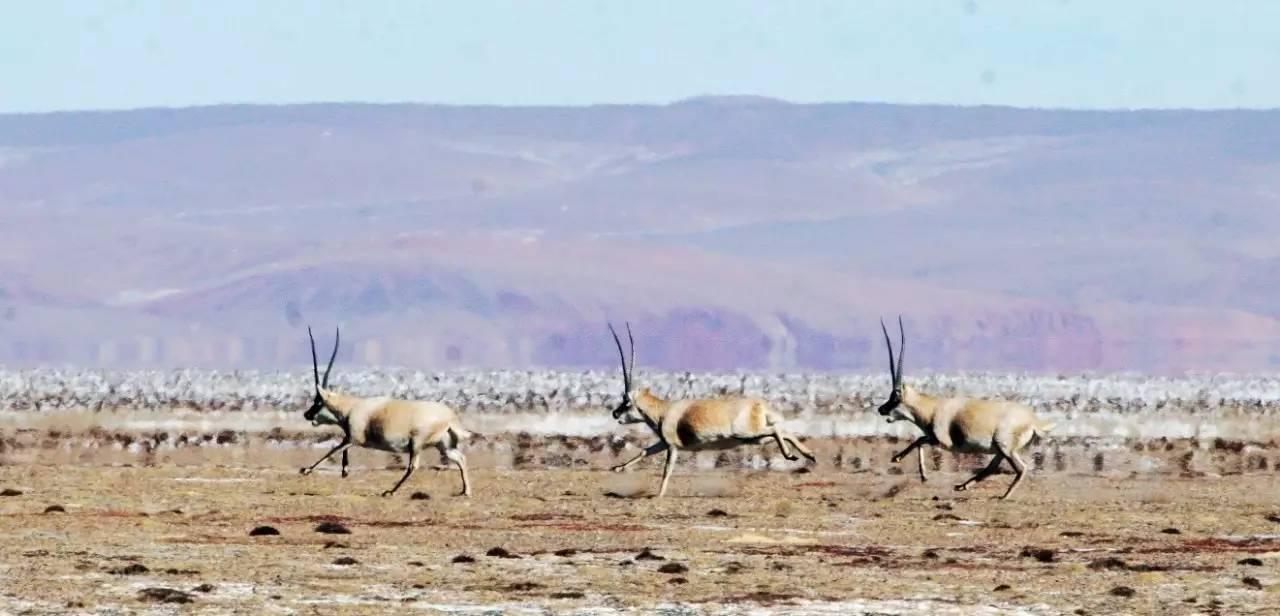 藏羚羊,国家一级保护动物,雌兽没有角,雄兽有角。藏羚羊是世界上生活在最高处的有蹄类动物,它轻盈美丽,姿态优雅,耐高寒,抗缺氧,具有优良的生物学性状,堪称高原最伟大的生物之一。保护区内木孜塔格雪山西南脚下,是一处重要的藏羚羊集群产羔繁殖地。每年的5月到8月,大约有10000只~15000只雌性藏羚都会从各处迁徙而来,汇聚于此,集体产羔。 4 藏原羚