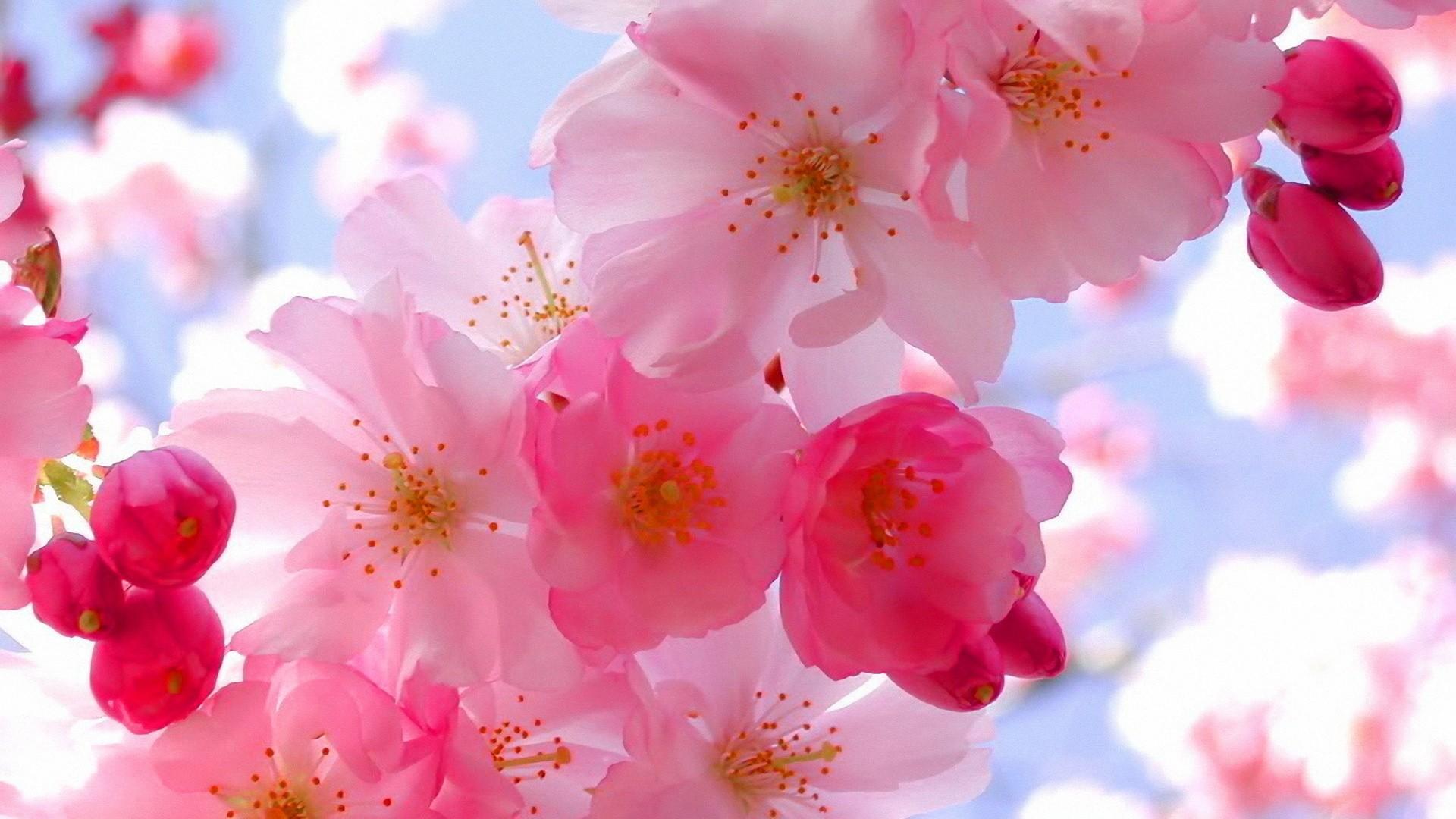 三月赏花季表错情 樱花桃花傻傻分不清