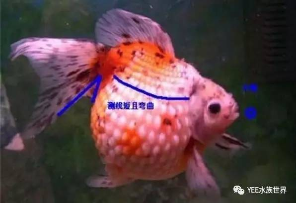 金鱼编织步骤图解
