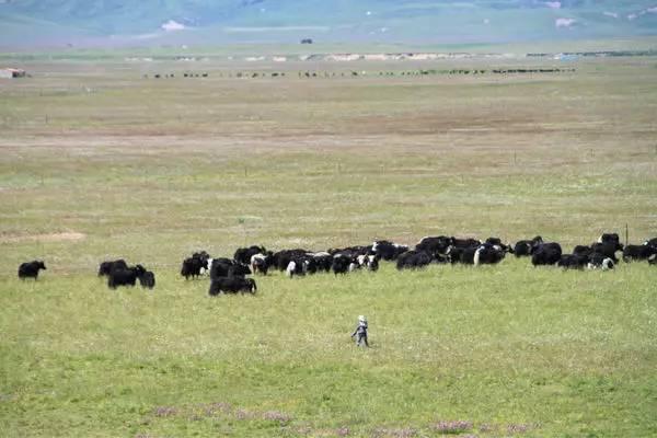 适度放牧依据的原理_草原放牧图片