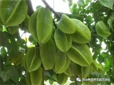 杨桃种子怎么种盆栽图片