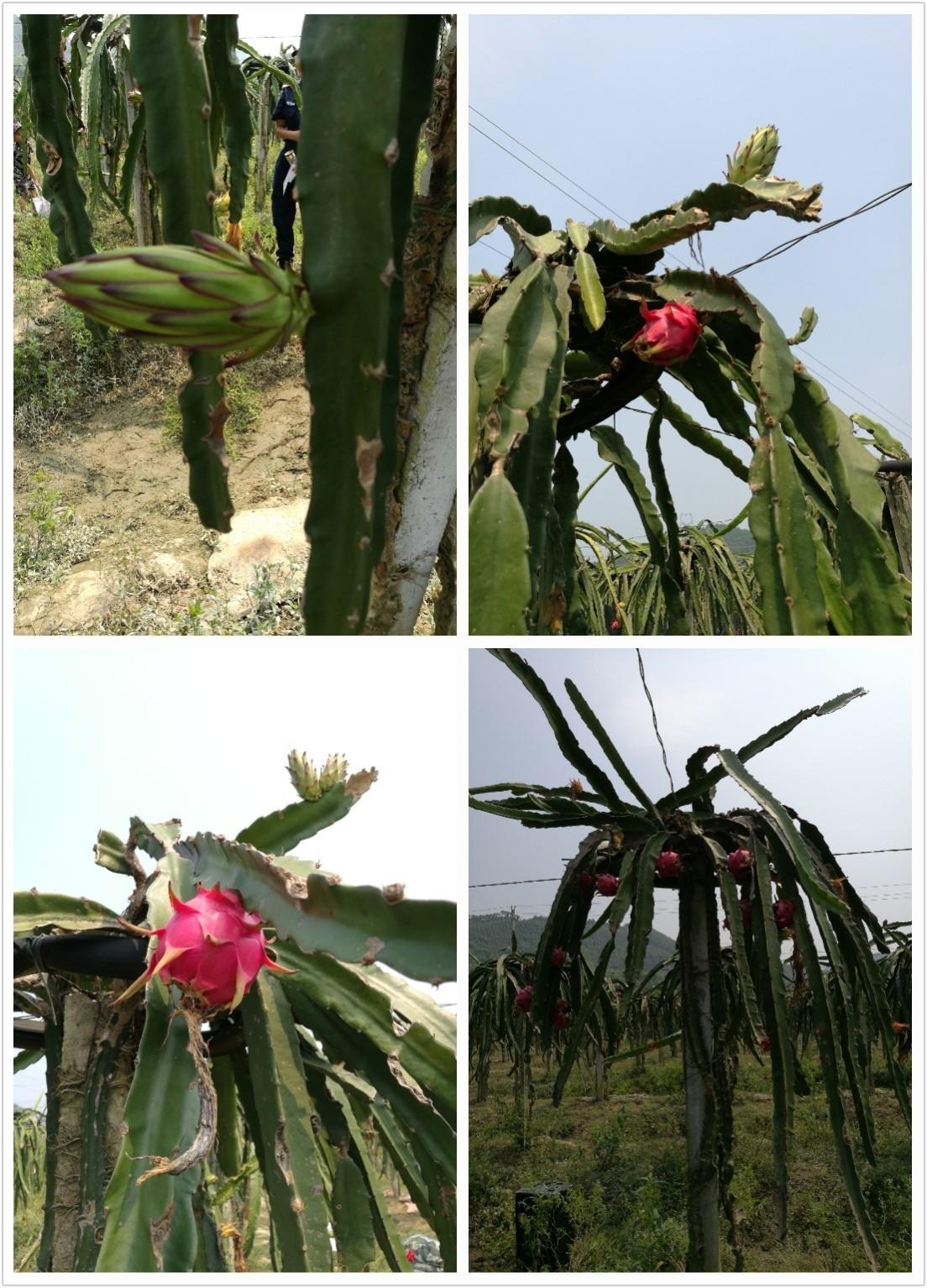 (图:师傅讲解火龙果的生长过程以及如何采摘火龙果)图片