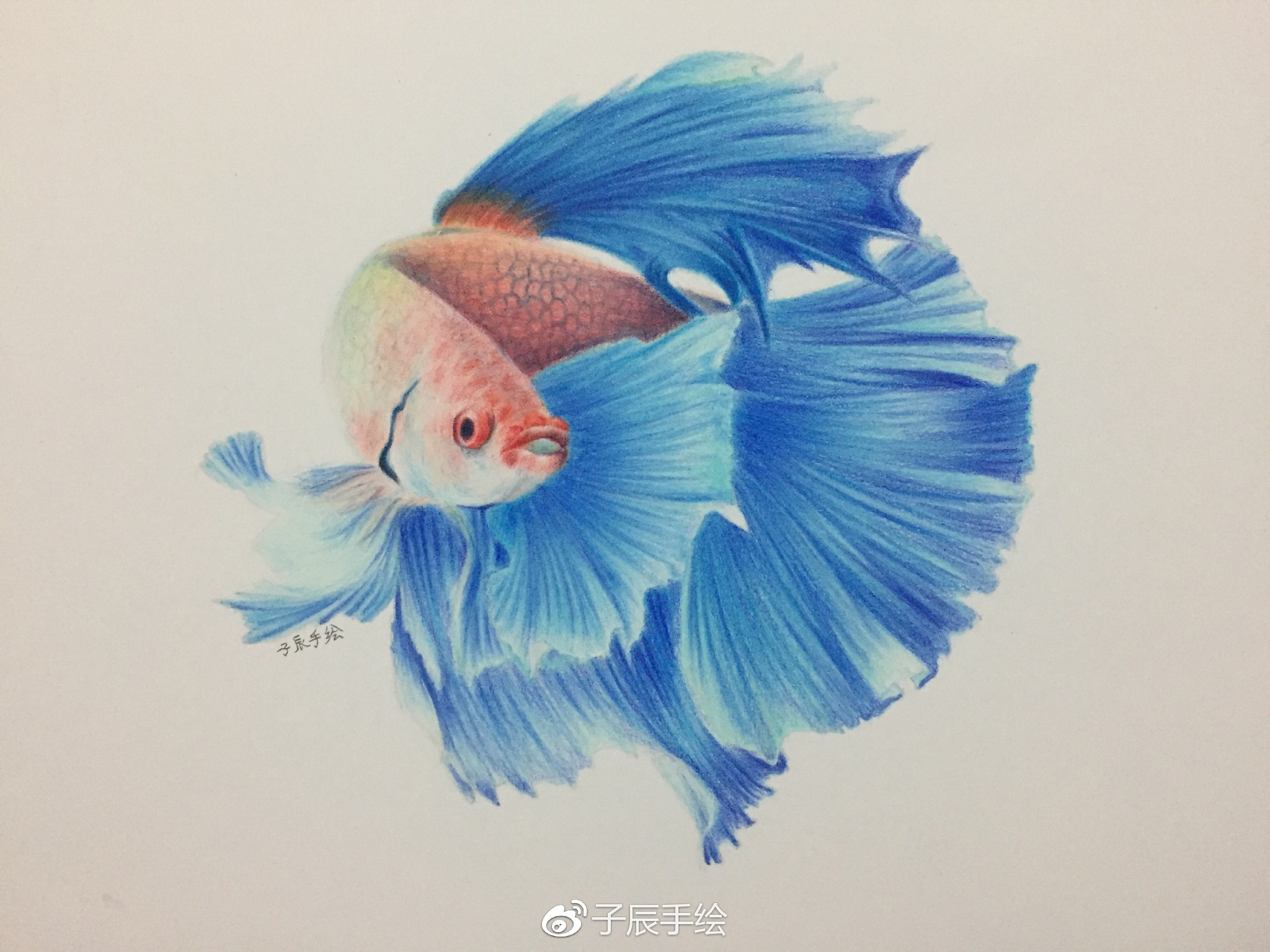 彩铅教程 | 斗鱼 (子辰手绘)
