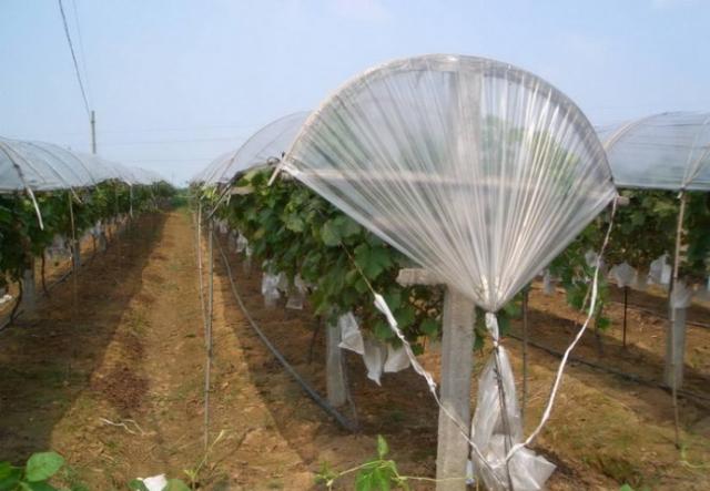 近年,南方地区又在简易避雨栽培的基础上,演化出促成加避雨栽培的新模图片
