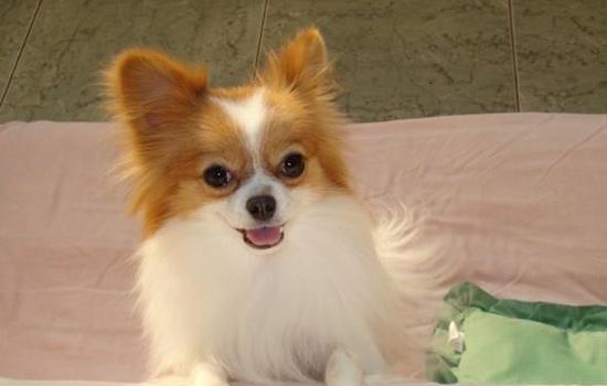 最聪明的犬_世界十大最聪明的狗排名,边境牧羊犬智商相当8岁小孩 探秘