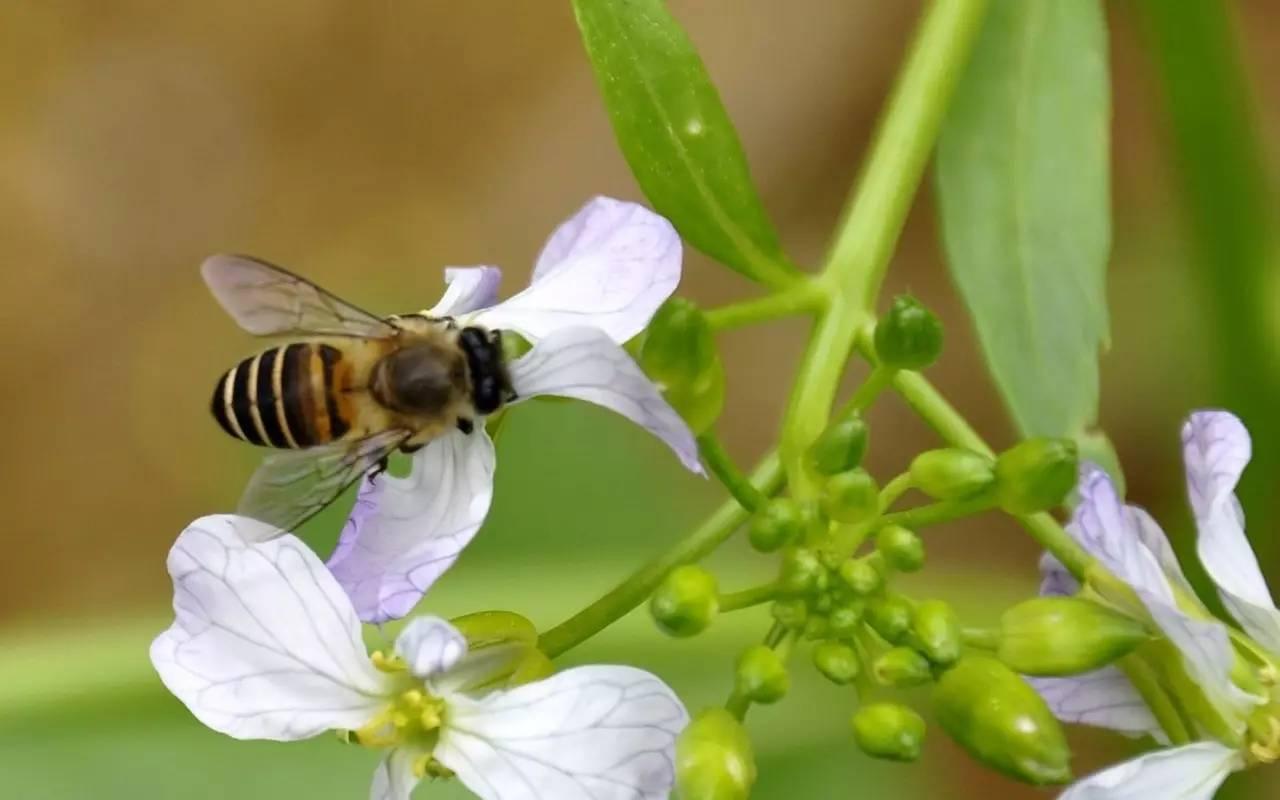[转载蜜蜂&quot名蜂&quot排行榜品种世界最高的价值森林蜥蜴经济哪一级v蜜蜂的图片
