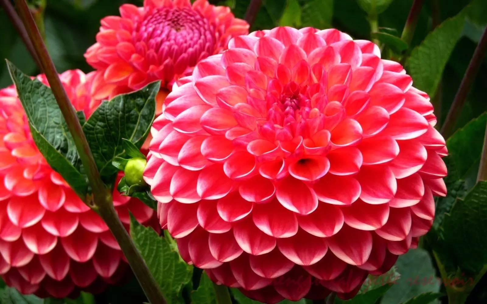 大丽花 大丽花,菊科、大丽花属植物。别名大理花、天竺牡丹、东洋菊、大丽菊、地瓜花,多年生草本,有巨大棒状块根。茎直立,多分枝,高1.5-2米,粗壮。头状花序大,有长花序梗,常下垂,宽6-12厘米。总苞片外层约5个,卵状椭圆形,叶质,内层膜质,椭圆状披针形。舌状花1层,白色,红色,或紫色,常卵形,顶端有不明显的3齿,或全缘。花期6月-12月。