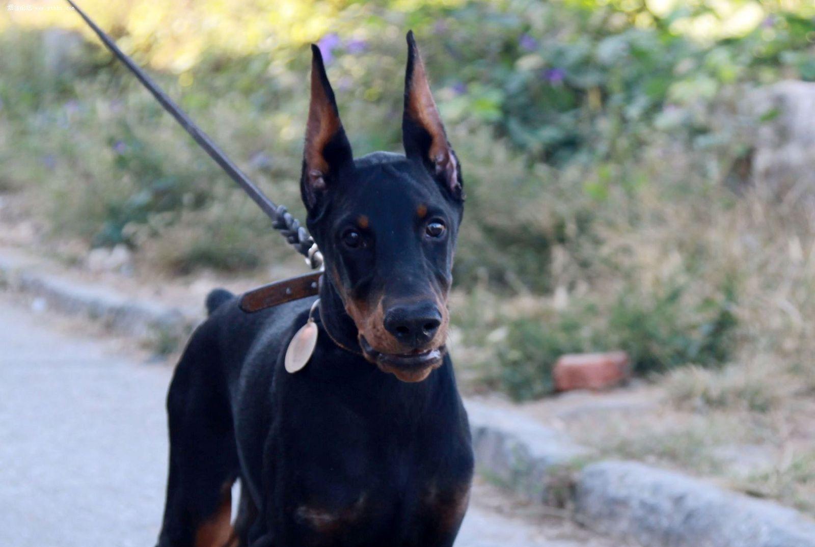 杜宾犬杜高犬卡斯罗犬修剪耳朵后要注意什么