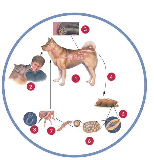 图解狗狗体内寄生虫_宠物狗体内常见病虫疾病