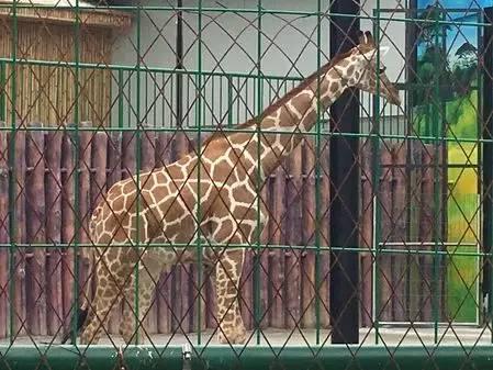 """首只落户中山的动物""""明星""""——长颈鹿,在紫马岭公园安家啦!"""