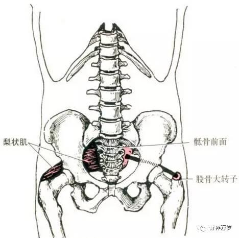 骨骼肌解剖图 收藏