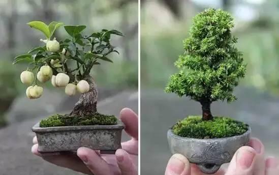 微型盆景的造型技巧图片