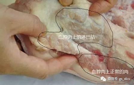 、猪颈下分布着下颌淋巴结、腮腺淋巴结和咽后淋巴中心等重要淋巴结