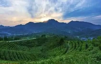 所以,产出的茶叶芽叶肥壮,幽香四溢,鲜嫩碧绿,形成了岳西翠兰的优异品图片