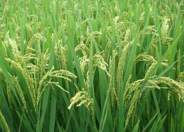 2017年如何防范低温对水稻生长的影响?(收藏备用)图片