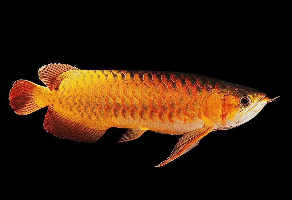金龙鱼 图片