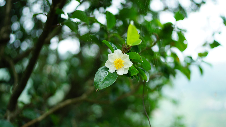 洪普号 来泡一泡你没注意过的茶树花
