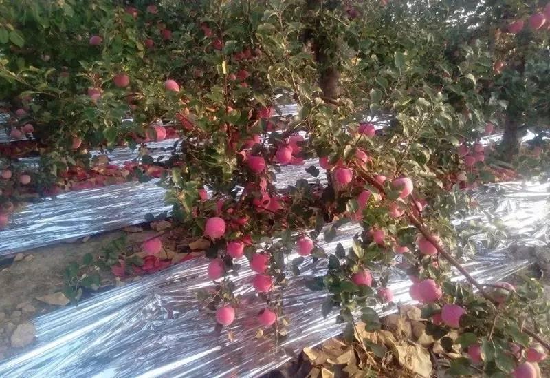 果技| 红富士苹果增色增甜小技巧!苹果树当年生枝修剪