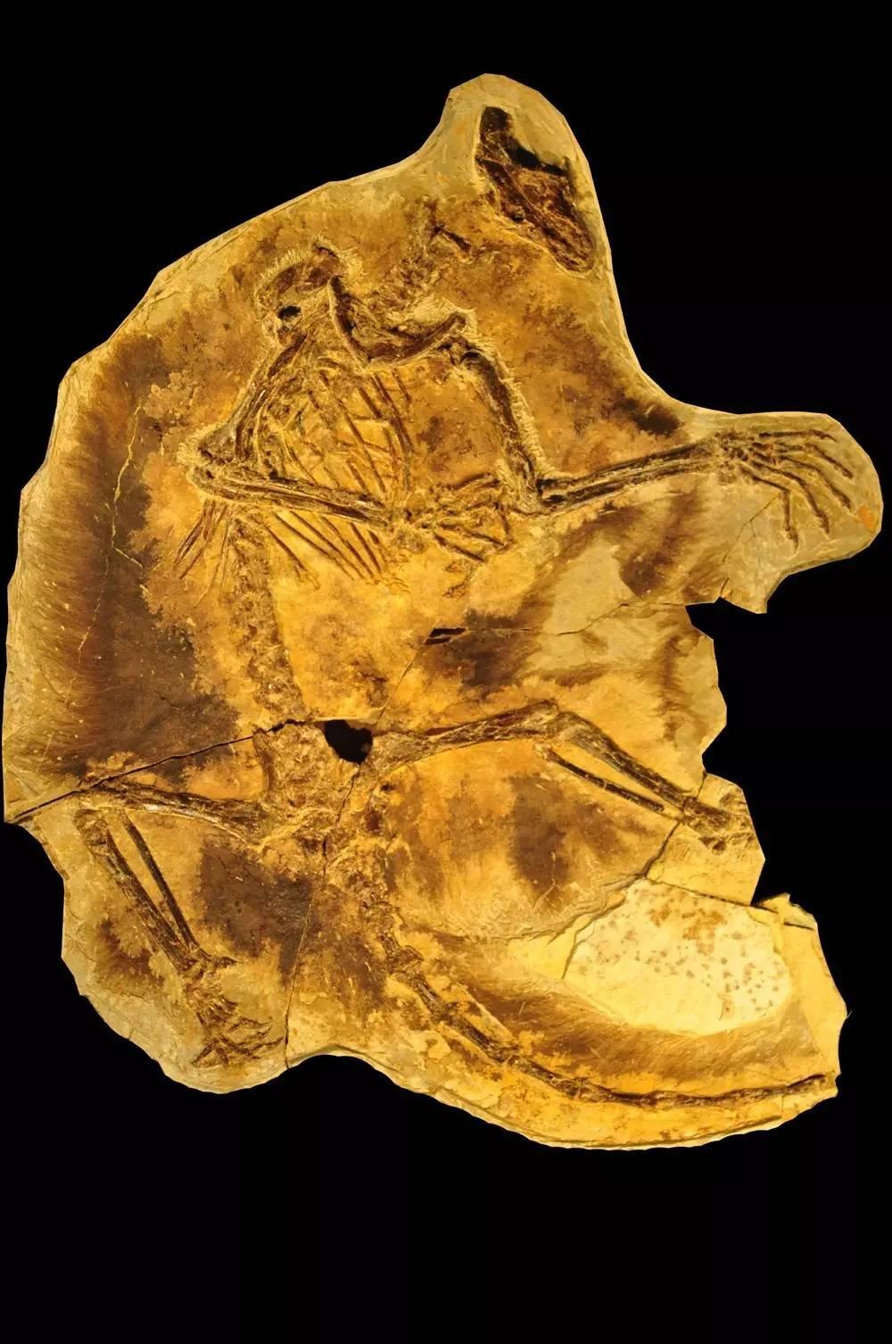 【快讯】世界最原始的滑翔哺乳动物现身中国