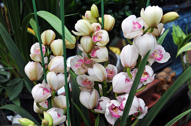 和 高贵雍容的大花蕙兰