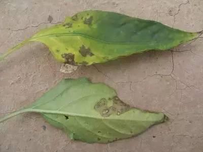 辣椒细菌性叶斑病图片