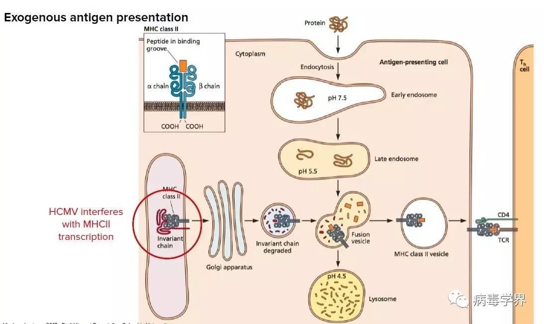 :   获得性免疫应答通过B细胞产生抗体介导体液免疫,通过T细胞分化