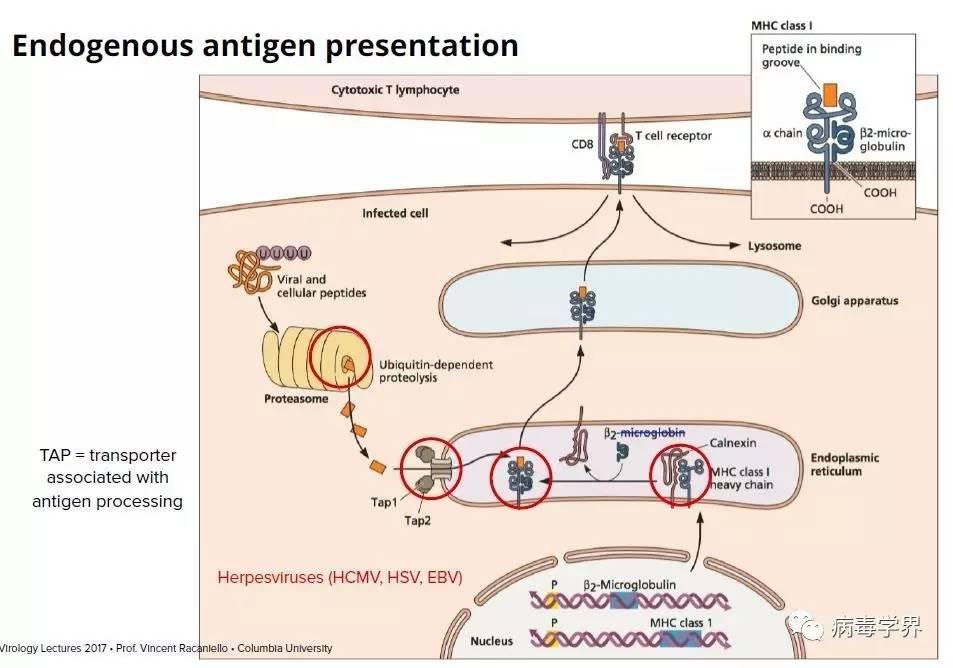 获得性免疫应答通过B细胞产生抗体介导体液免疫,通过T细胞分化成