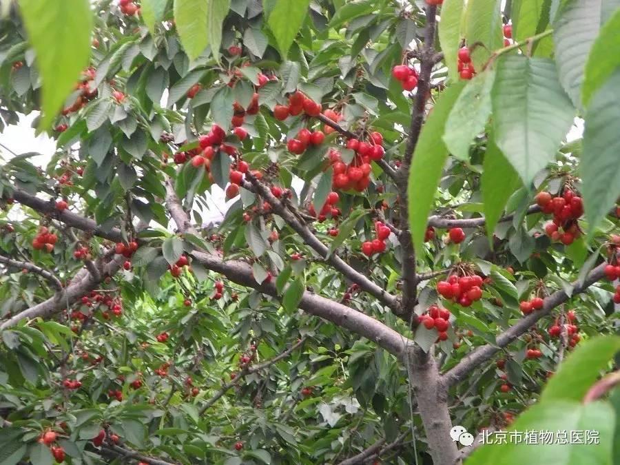 夏季樱桃树如何修剪图片