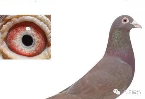 信鸽眼砂如何搭配
