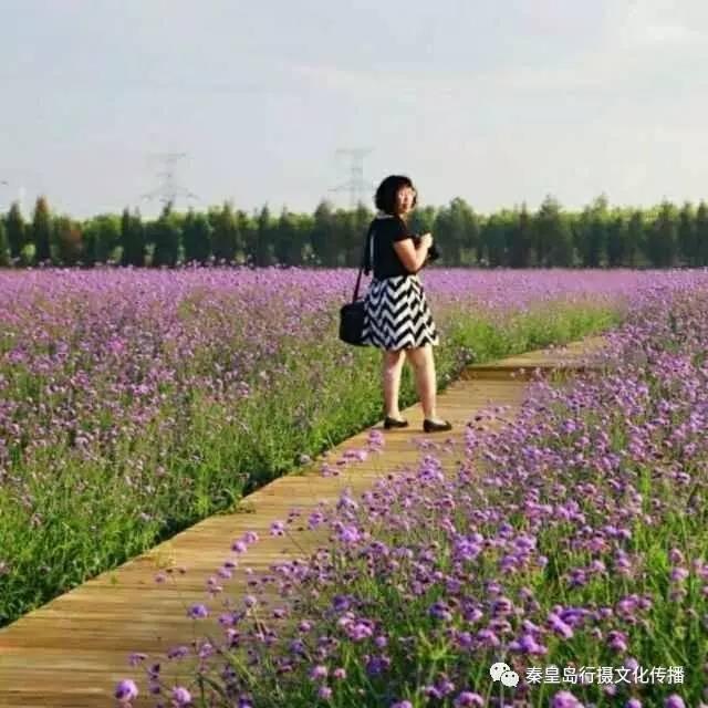 秦皇岛竟然也有这么美的花海!
