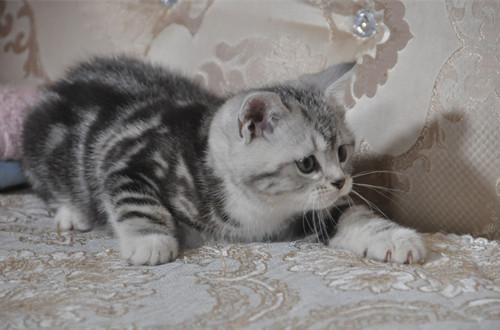美短猫螨虫皮肤病怎么治,美短螨虫病用什么药