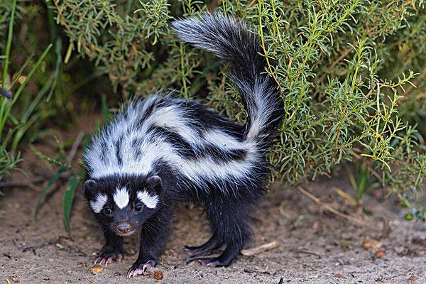 世界上最臭的动物,臭到让人丧失视觉嗅觉,没想到原来