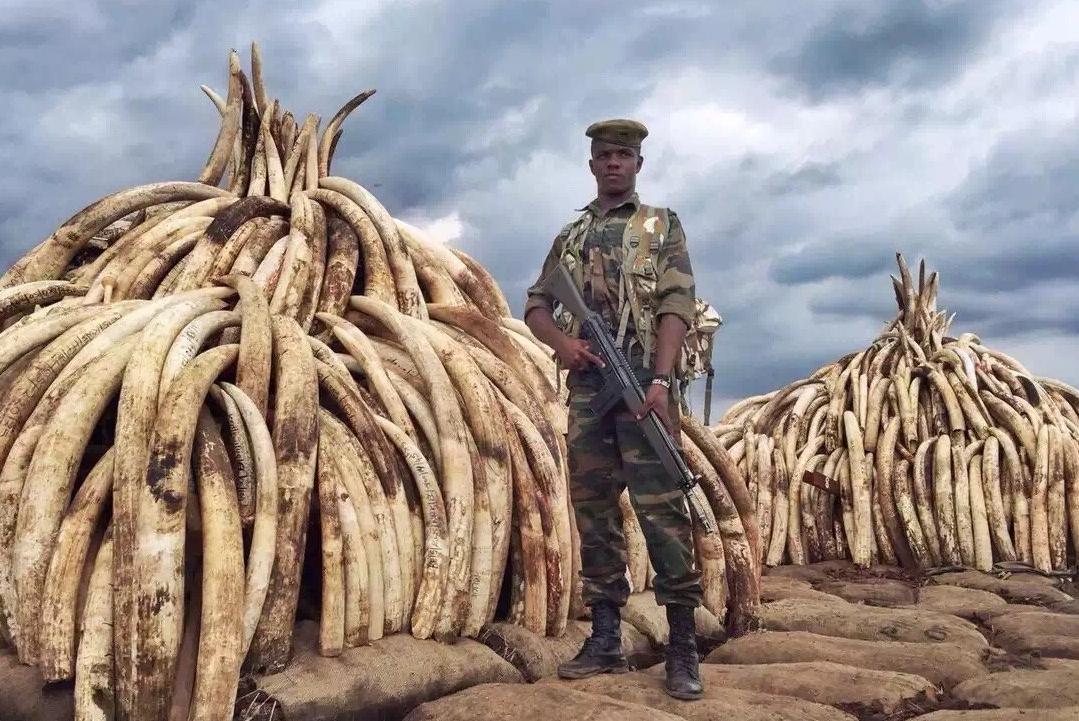 中国象牙贸易将全面禁止 但这场战争才刚开始