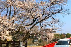 问嬉野:你的樱花如此美,为啥无人问津?