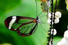 (蝶变)最诡异的蝴蝶:卡申夫鬼美人凤蝶!左翅似美女,右翅如白骨.