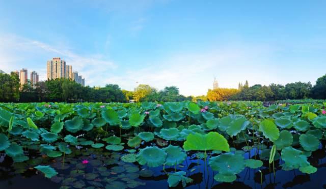 震撼!深圳洪湖公园百亩荷花开啦!园林+花海+小岛...免费开放!